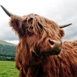 Highland Kuh in Schottland - Die schottischen Highlands mit Loch Ness